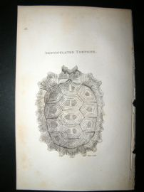 Shaw C1810 Antique Print. Denticulated Tortoise